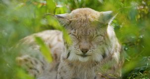 European lynx lying in the grass sleeping stock footage
