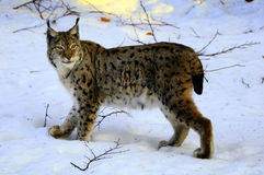 European Lynx (Lynx lynx) Royalty Free Stock Image