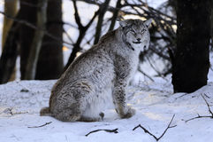European Lynx (Lynx lynx) Royalty Free Stock Images