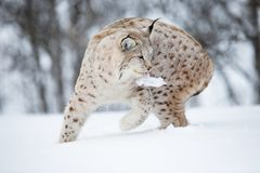 European lynx with meat in the mouth Stock Image