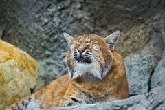 European lynx meows. European lynx (Lynx lynx) in the Moscow zoo Royalty Free Stock Photo