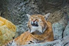 European lynx meows Royalty Free Stock Photo
