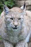 European Lynx Royalty Free Stock Image