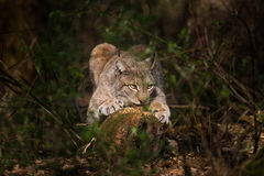 European lynx scrachting her nails Royalty Free Stock Photo