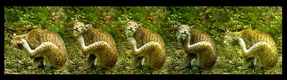 European lynx, serial shot Royalty Free Stock Photography