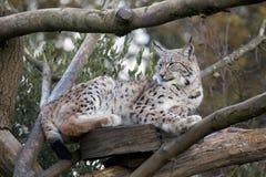 European Lynx Royalty Free Stock Photos