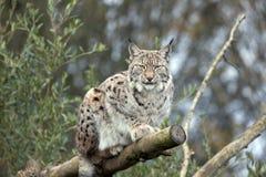 European Lynx Stock Photos