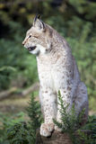 European Lynx Royalty Free Stock Photo