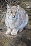 European Lynx Stock Image