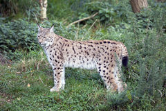 European Lynx Stock Image