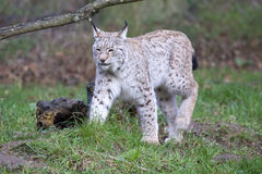 European Lynx Stock Photography