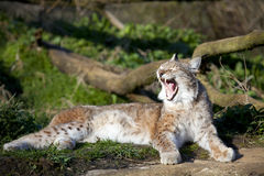 European Lynx. A single European Lynx yawning in the sun Royalty Free Stock Photography