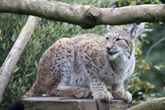 European Lynx Stock Photos