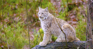 European lynx sits in the autumn forest Royalty Free Stock Photography