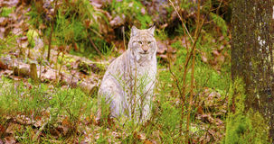 European lynx sits in the autumn forest Royalty Free Stock Photo