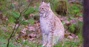 European lynx sits in the heather on the forest floor stock footage