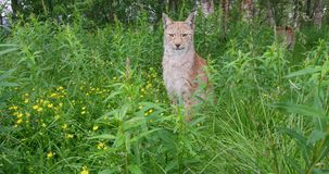 European lynx sitting in the grass stock footage