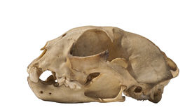 European lynx skull Royalty Free Stock Photography