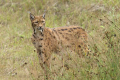 European Lynx Stock Images