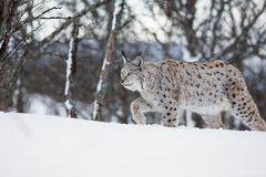 European lynx walking in the snow. A european lynx in the winter. February, Norway Royalty Free Stock Photography