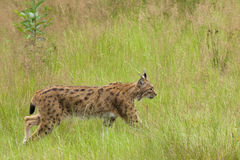 European Lynx. Walking in tall grass Stock Image