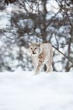 European lynx walks in snow Stock Photography