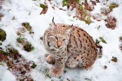 European Lynx. Wild European Lynx sitting in snow in a forest in Sweden Royalty Free Stock Photo