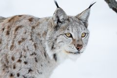 European lynx in a winter landscape. A lynx in the snow. Cold winter, February, Norway Stock Photos