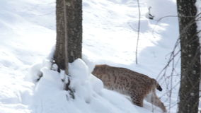 European Lynxwalks in the Woods on the snowy ground. Stock Images