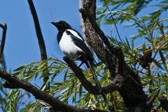 European Magpie. (Pica pica) in a tree Stock Images
