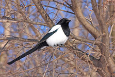 European magpie Stock Images