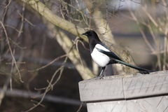 European magpie Royalty Free Stock Photos