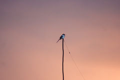 European magpie bird on branch during sunset. European magpie bird on branch Stock Photos
