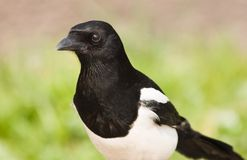 European Magpie or Common Magpie Royalty Free Stock Photography