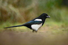 European Magpie or Common Magpie, Pica pica, black and white bird with long tail, in the nature habitat, clear background, Germany Royalty Free Stock Image