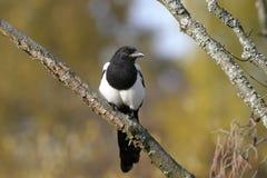 European magpie, pica pica Stock Image