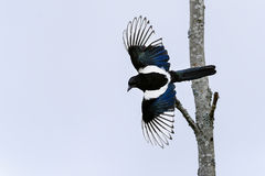 European magpie, pica pica Stock Photography