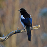 European magpie, Pica pica Royalty Free Stock Photos