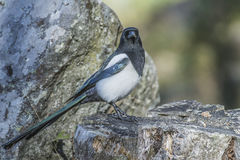 European Magpie (Pica pica) Stock Photos