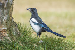 European Magpie (Pica pica) Royalty Free Stock Photography
