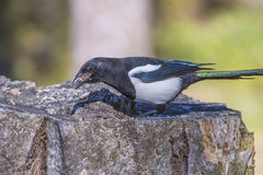 European Magpie (Pica pica) Stock Photo