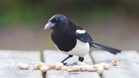 European Magpie (pica pica) Royalty Free Stock Photo