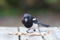 European Magpie (pica pica) Stock Photography