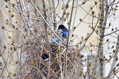 European Magpie, Pica Pica - Nesting Stock Image