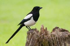 European Magpie (pica pica) Royalty Free Stock Image