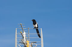 European Magpie Royalty Free Stock Photography