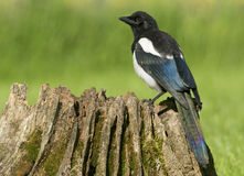 European Magpies (pica pica) perched on tree stump Royalty Free Stock Photo
