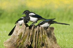 European Magpies (pica pica) on tree stump Royalty Free Stock Images