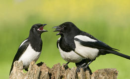 European Magpies (pica pica) on tree stump Royalty Free Stock Photos