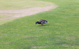European male duck walking on green grass at park Stock Photo